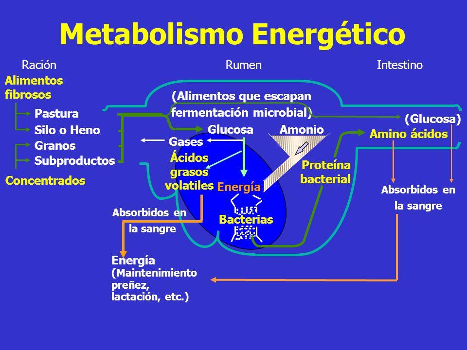 Metabolismo de la Proteína Intestino Proteína Bruta Proteína Nitrógeno No proteico RaciónRumen Proteína que escapa a la acción de las bacterias Reciclado en saliva Excretado en Orina o Leche Hígado Exceso amonia Urea Proteína Bacterial Absorbido en la sangre = Proteína (Maintenimiento preñez, lactación, etc.) Amino ácidos = Energía Fermentencible PDR Bacteria