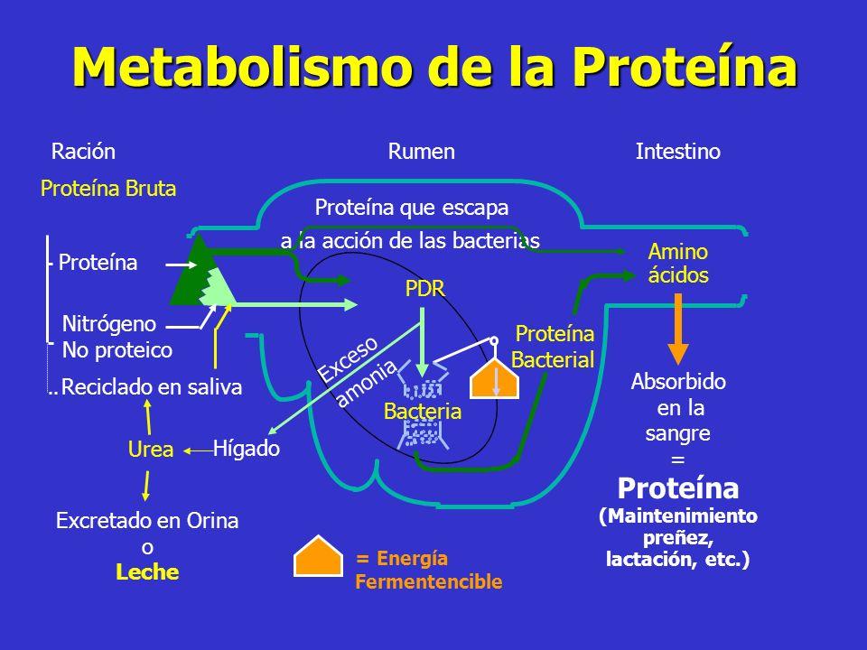 Metabolismo de la Proteína Intestino Proteína Bruta Proteína Nitrógeno No proteico RaciónRumen Proteína que escapa a la acción de las bacterias Recicl