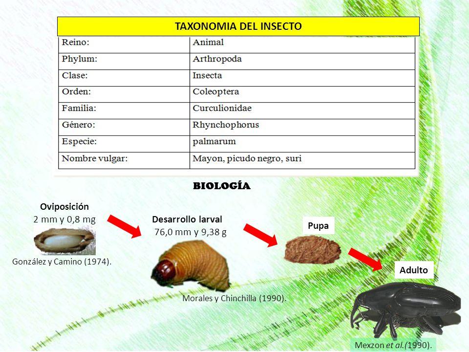 BIOLOGÍA Oviposición 2 mm y 0,8 mg González y Camino (1974). Desarrollo larval 76,0 mm y 9,38 g Adulto TAXONOMIA DEL INSECTO Pupa Morales y Chinchilla