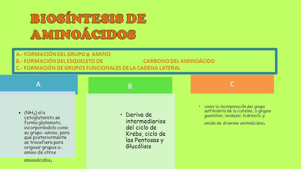 A.- FORMACIÓN DEL GRUPO α AMINO B.- FORMACIÓN DEL ESQUELETO DE CARBONO DEL AMINOÁCIDO C.- FORMACIÓN DE GRUPOS FUNCIONALES DE LA CADENA LATERAL A ( NH