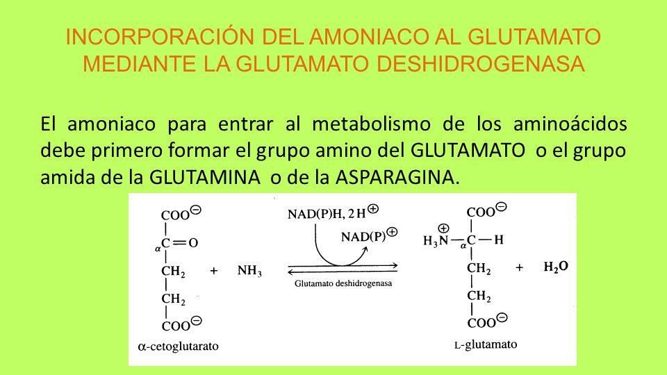 INCORPORACIÓN DEL AMONIACO AL GLUTAMATO MEDIANTE LA GLUTAMATO DESHIDROGENASA El amoniaco para entrar al metabolismo de los aminoácidos debe primero fo