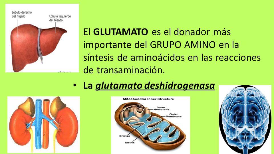 El GLUTAMATO es el donador más importante del GRUPO AMINO en la síntesis de aminoácidos en las reacciones de transaminación. La glutamato deshidrogena