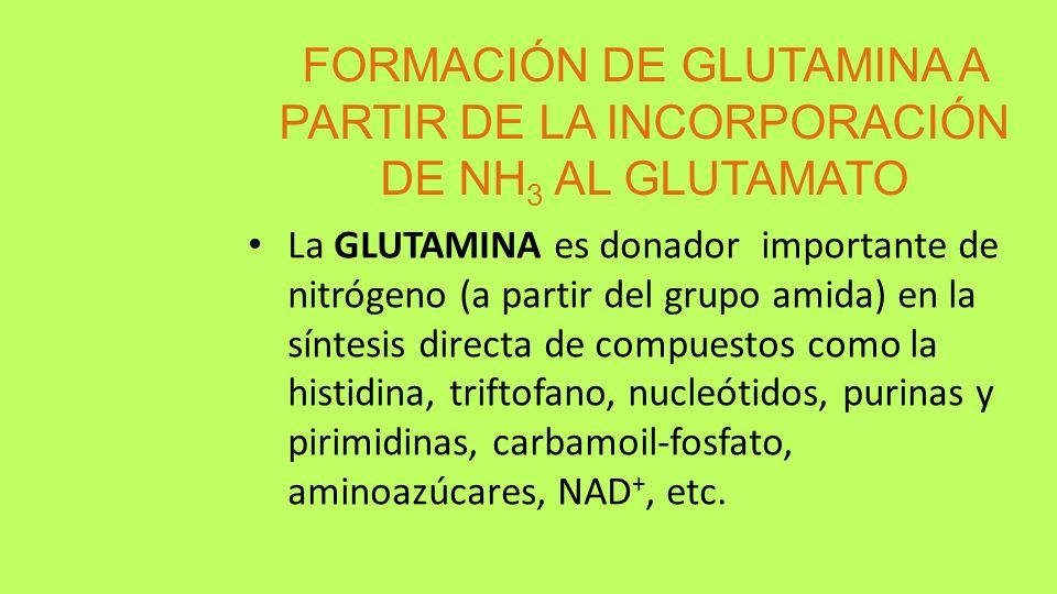 FORMACIÓN DE GLUTAMINA A PARTIR DE LA INCORPORACIÓN DE NH 3 AL GLUTAMATO La GLUTAMINA es donador importante de nitrógeno (a partir del grupo amida) en
