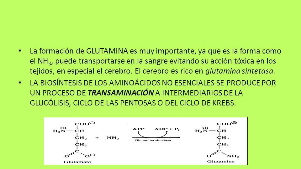 La formación de GLUTAMINA es muy importante, ya que es la forma como el NH 3, puede transportarse en la sangre evitando su acción tóxica en los tejido