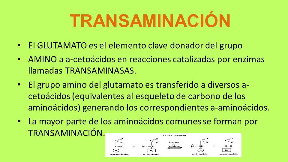 TRANSAMINACIÓN El GLUTAMATO es el elemento clave donador del grupo AMINO a a-cetoácidos en reacciones catalizadas por enzimas llamadas TRANSAMINASAS.