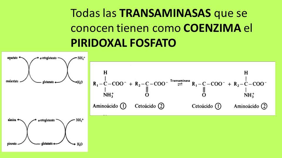 Todas las TRANSAMINASAS que se conocen tienen como COENZIMA el PIRIDOXAL FOSFATO