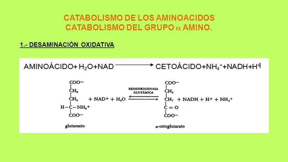 CATABOLISMO DE LOS AMINOACIDOS CATABOLISMO DEL GRUPO AMINO. 1.- DESAMINACIÓN OXIDATIVA