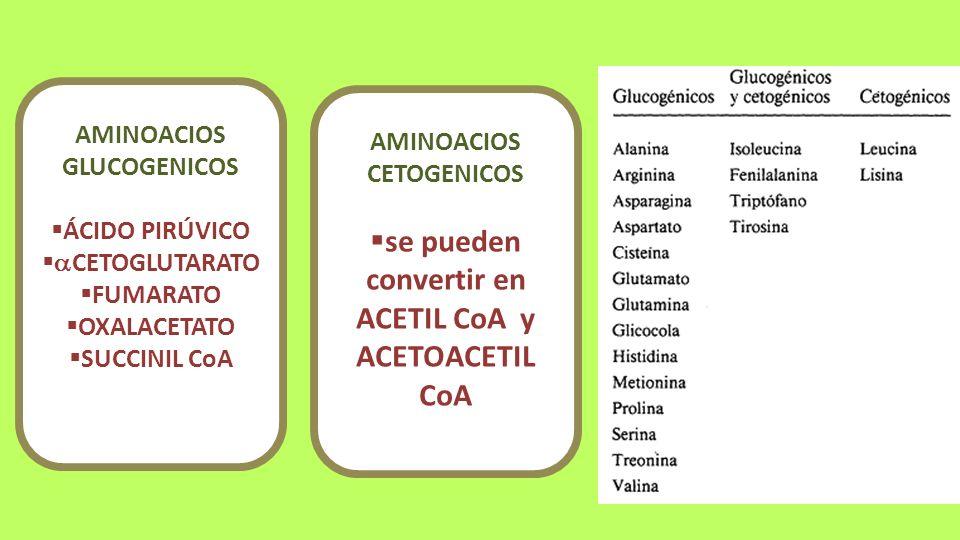 AMINOACIOS GLUCOGENICOS ÁCIDO PIRÚVICO CETOGLUTARATO FUMARATO OXALACETATO SUCCINIL CoA AMINOACIOS CETOGENICOS se pueden convertir en ACETIL CoA y ACET