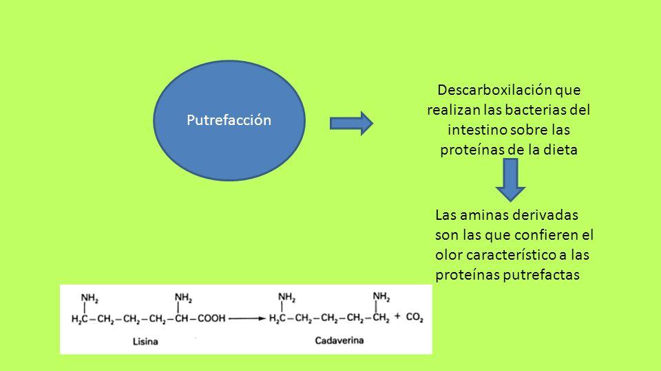 Putrefacción Descarboxilación que realizan las bacterias del intestino sobre las proteínas de la dieta Las aminas derivadas son las que confieren el o