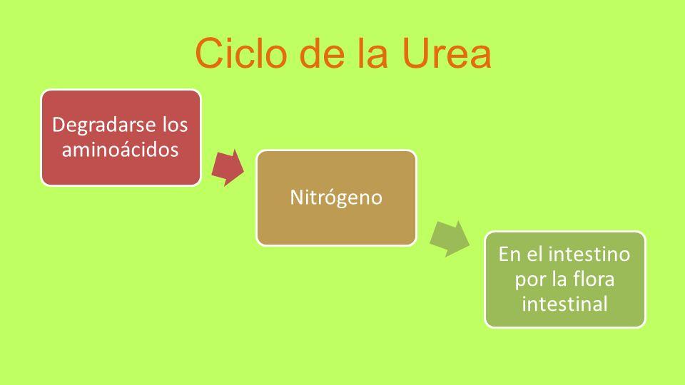 Ciclo de la Urea Degradarse los aminoácidos Nitrógeno En el intestino por la flora intestinal
