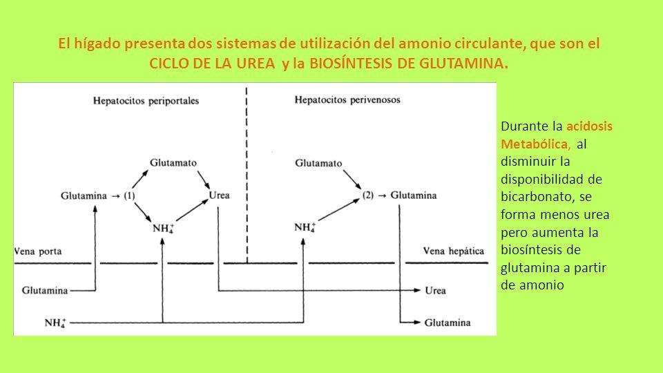 El hígado presenta dos sistemas de utilización del amonio circulante, que son el CICLO DE LA UREA y la BIOSÍNTESIS DE GLUTAMINA. Durante la acidosis M