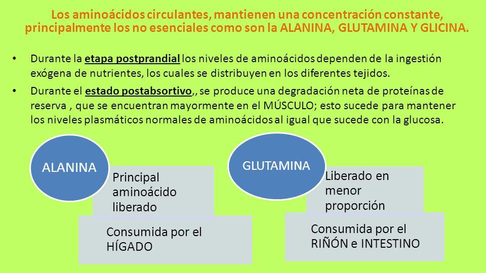 Los aminoácidos circulantes, mantienen una concentración constante, principalmente los no esenciales como son la ALANINA, GLUTAMINA Y GLICINA. Durante