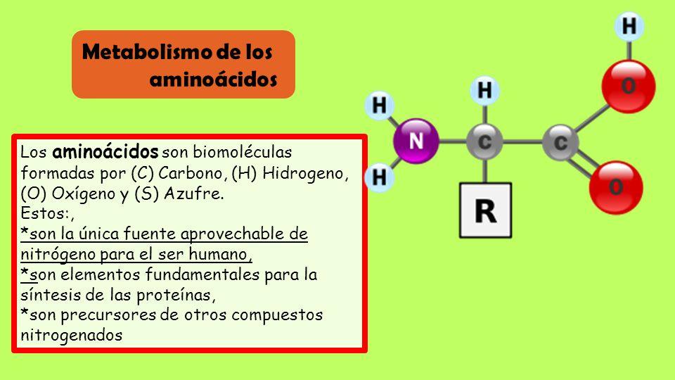 Metabolismo de los aminoácidos Los aminoácidos son biomoléculas formadas por (C) Carbono, (H) Hidrogeno, (O) Oxígeno y (S) Azufre. Estos:, *son la úni