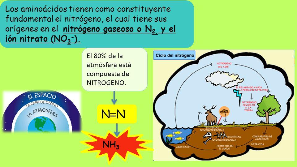 Los aminoácidos tienen como constituyente fundamental el nitrógeno, el cual tiene sus orígenes en el nitrógeno gaseoso o N 2, y el ión nitrato (NO 3 -