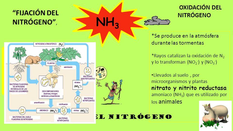 CICLO DEL NITRóGENO NH 3 FIJACIÓN DEL NITRÓGENO, OXIDACIÓN DEL NITRÓGENO Cual N 2 se reduce y forma AMONIACO (NH 3 ). Proceso es catalizado por la enz