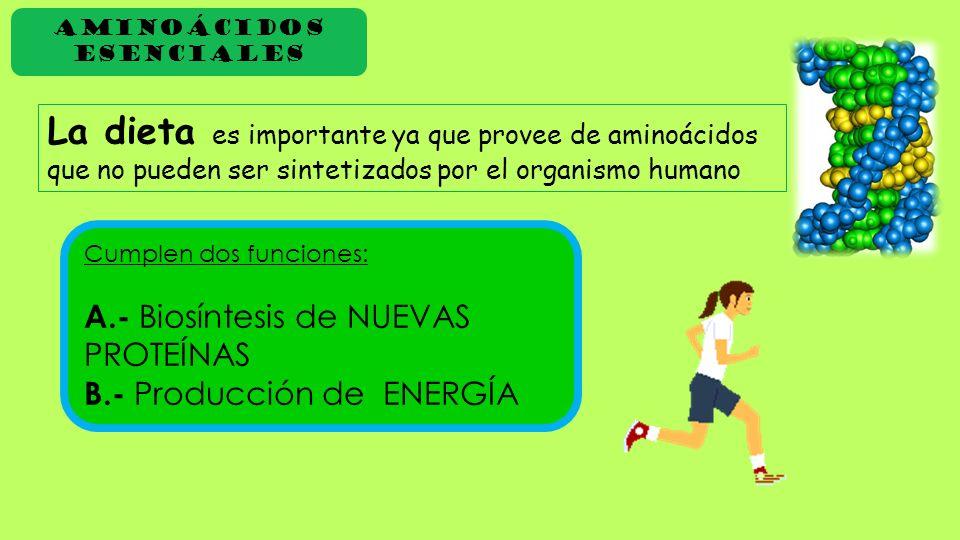 Aminoácidos Esenciales La dieta es importante ya que provee de aminoácidos que no pueden ser sintetizados por el organismo humano Cumplen dos funcione
