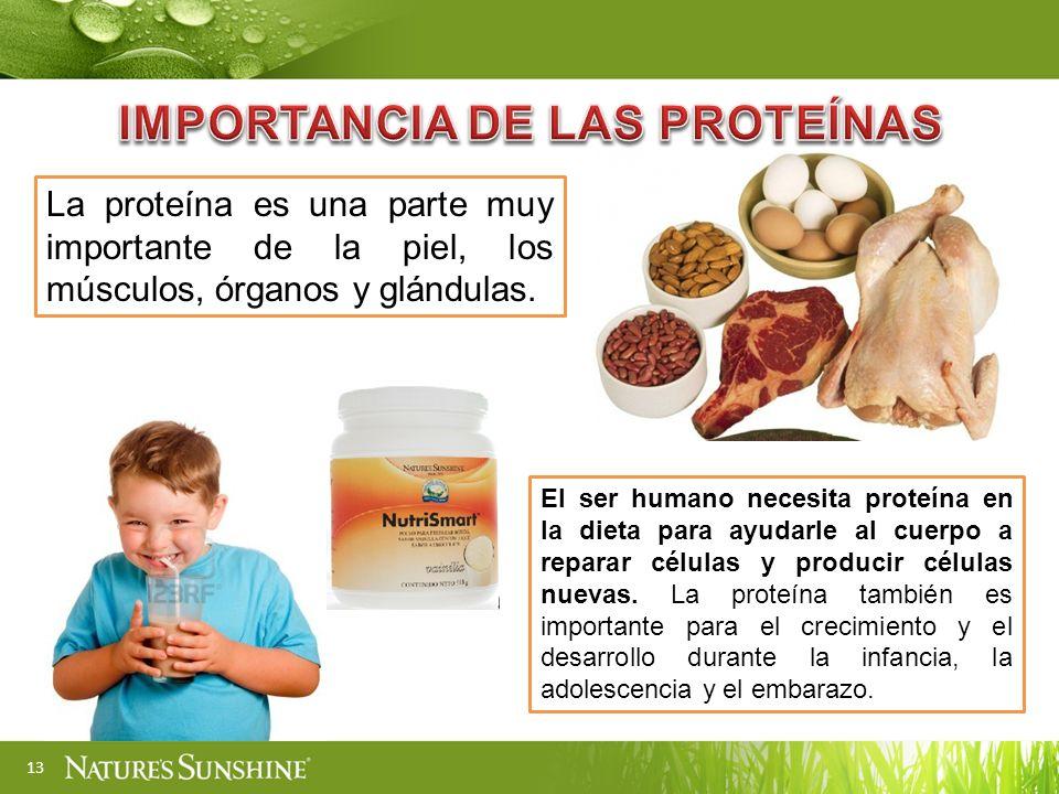 13 La proteína es una parte muy importante de la piel, los músculos, órganos y glándulas.