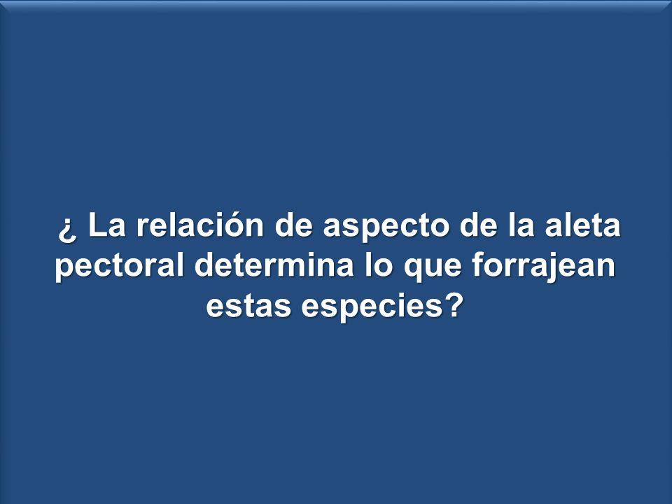 RA = L 2 /a - Natación + - R.A + ¿ La relación de aspecto de la aleta pectoral determina lo que forrajean estas especies? ¿ La relación de aspecto de