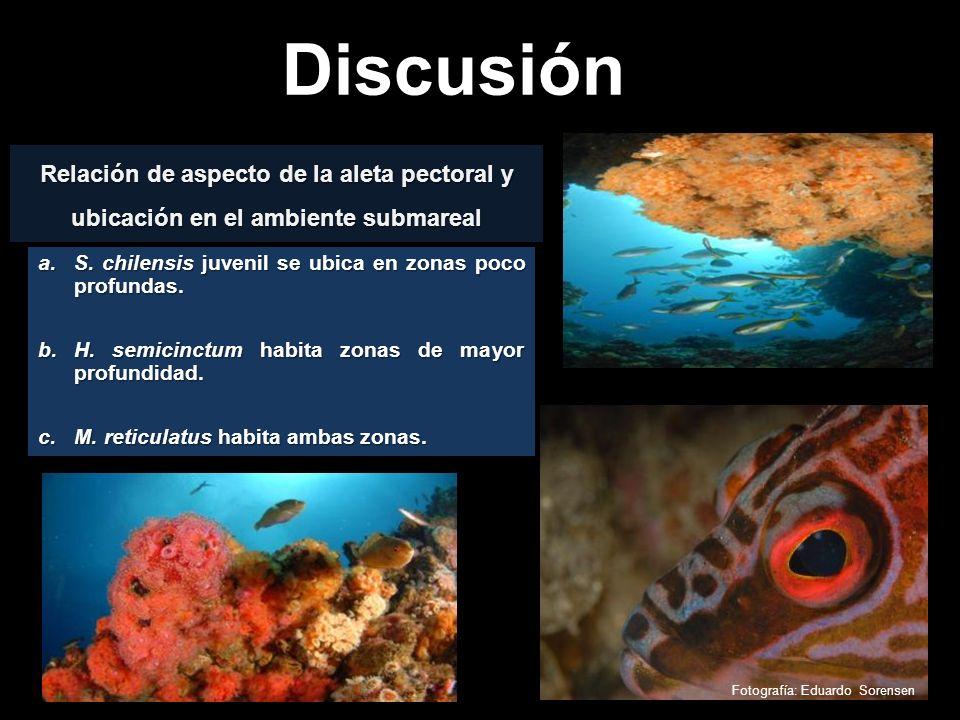 Discusión Fotografía: Eduardo Sorensen Relación de aspecto de la aleta pectoral y ubicación en el ambiente submareal a.S. chilensis juvenil se ubica e