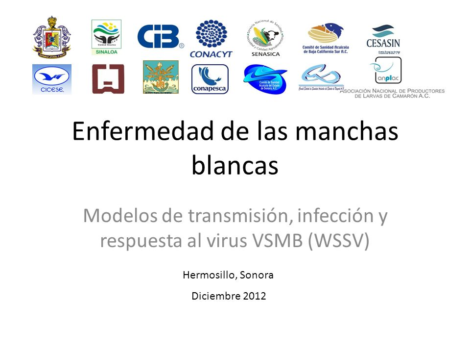 Enfermedad de las manchas blancas Modelos de transmisión, infección y respuesta al virus VSMB (WSSV) Comité Estatal de Sanidad Acuícola de Sinaloa A.