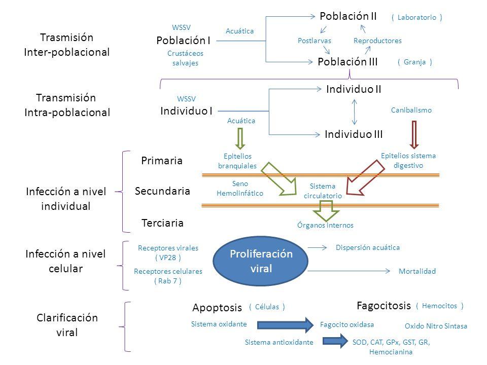 Trasmisión Inter-poblacional Transmisión Intra-poblacional Infección a nivel individual Infección a nivel celular Clarificación viral Población I Población II Primaria Secundaria Terciaria Apoptosis Fagocitosis Individuo I Individuo II Población III Individuo III Postlarvas Crustáceos salvajes Acuática ( Laboratorio ) ( Granja ) Reproductores Acuática Canibalismo Epitelios branquiales Epitelios sistema digestivo Sistema circulatorio Órganos internos Seno Hemolinfático Sistema oxidante Sistema antioxidante Dispersión acuática Mortalidad Receptores virales ( VP28 ) Receptores celulares ( Rab 7 ) Fagocito oxidasa Oxido Nitro Sintasa SOD, CAT, GPx, GST, GR, Hemocianina Proliferación viral ( Hemocitos ) ( Células ) WSSV