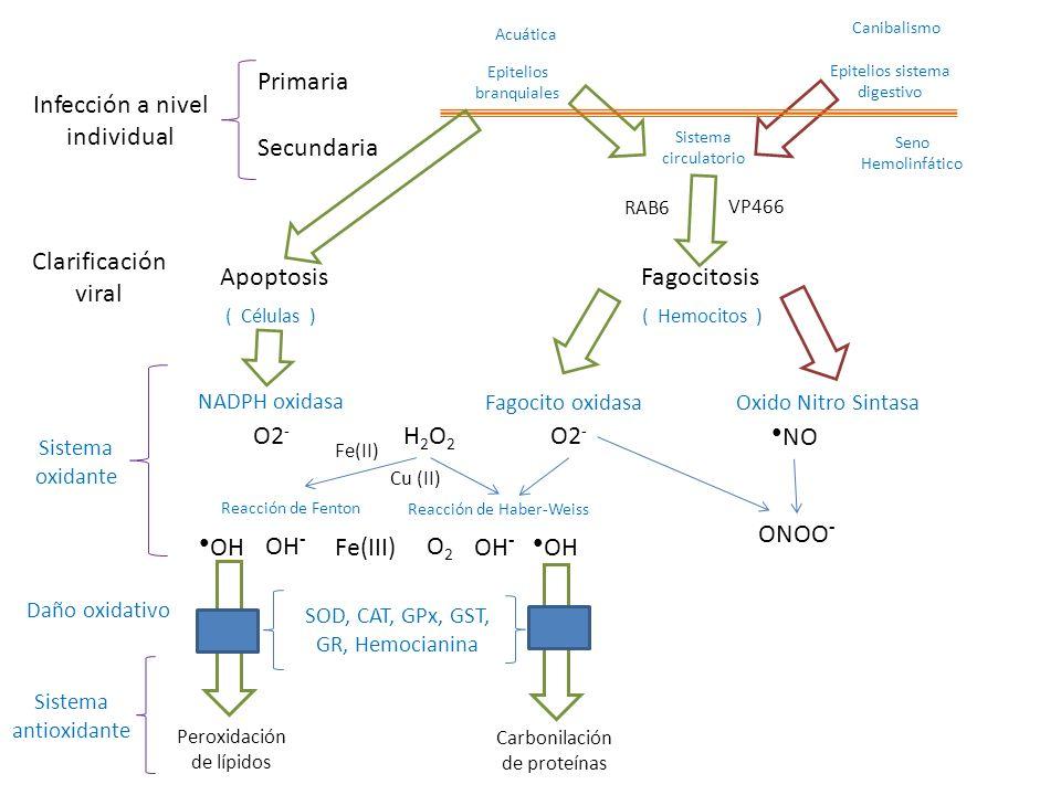 Clarificación viral ApoptosisFagocitosis Sistema oxidante Sistema antioxidante Fagocito oxidasaOxido Nitro Sintasa SOD, CAT, GPx, GST, GR, Hemocianina ( Hemocitos )( Células ) NADPH oxidasa O2 - NO O2 - OH - OH ONOO - H2O2H2O2 O2O2 OH - OH Fe(III) Reacción de Fenton Reacción de Haber-Weiss Daño oxidativo Peroxidación de lípidos Carbonilación de proteínas Fe(II) Acuática Canibalismo Epitelios branquiales Epitelios sistema digestivo Sistema circulatorio Seno Hemolinfático VP466 RAB6 Cu (II)