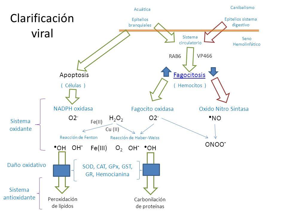 (Li y Xiang 2013) La protección antioxidante incluye las enzimas SOD, CAT, GPx, GST, GR, Hemocianina.