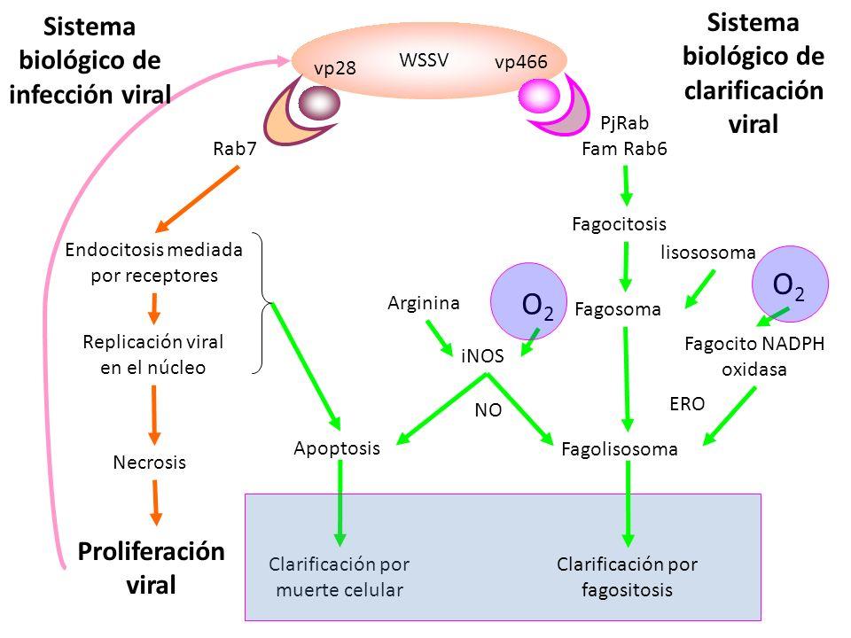 WSSV vp28 vp466 Rab7 PjRab Fam Rab6 Endocitosis mediada por receptores Replicación viral en el núcleo Necrosis Proliferación viral Apoptosis Clarificación por muerte celular Fagocitosis Fagosoma Fagolisosoma lisososoma Clarificación por fagositosis Fagocito NADPH oxidasa iNOS Arginina O2O2 NO O2O2 ERO Sistema biológico de infección viral Sistema biológico de clarificación viral