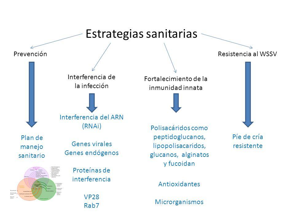 Estrategias sanitarias Prevención Interferencia de la infección Fortalecimiento de la inmunidad innata Resistencia al WSSV Plan de manejo sanitario Interferencia del ARN (RNAi) Genes virales Genes endógenos Proteínas de interferencia VP28 Rab7 Antioxidantes Microrganismos Píe de cría resistente Polisacáridos como peptidoglucanos, lipopolisacaridos, glucanos, alginatos y fucoidan