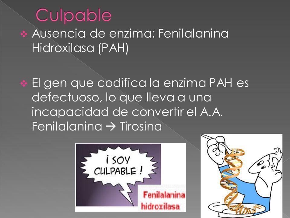 Ausencia de enzima: Fenilalanina Hidroxilasa (PAH) El gen que codifica la enzima PAH es defectuoso, lo que lleva a una incapacidad de convertir el A.A.