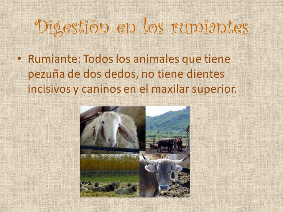 Digestión en los rumiantes Rumiante: Todos los animales que tiene pezuña de dos dedos, no tiene dientes incisivos y caninos en el maxilar superior.