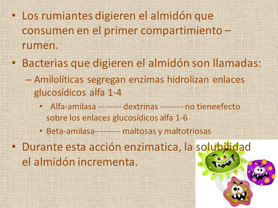 Los rumiantes digieren el almidón que consumen en el primer compartimiento – rumen. Bacterias que digieren el almidón son llamadas: – Amilolíticas seg