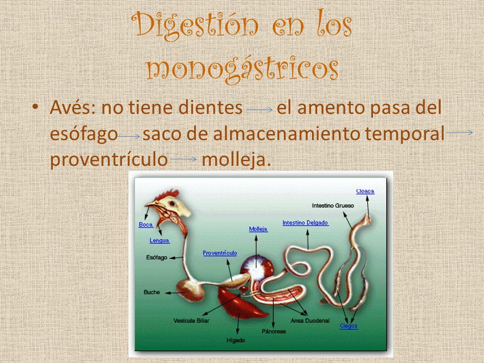 Digestión en los monogástricos Avés: no tiene dientes el amento pasa del esófago saco de almacenamiento temporal proventrículo molleja.