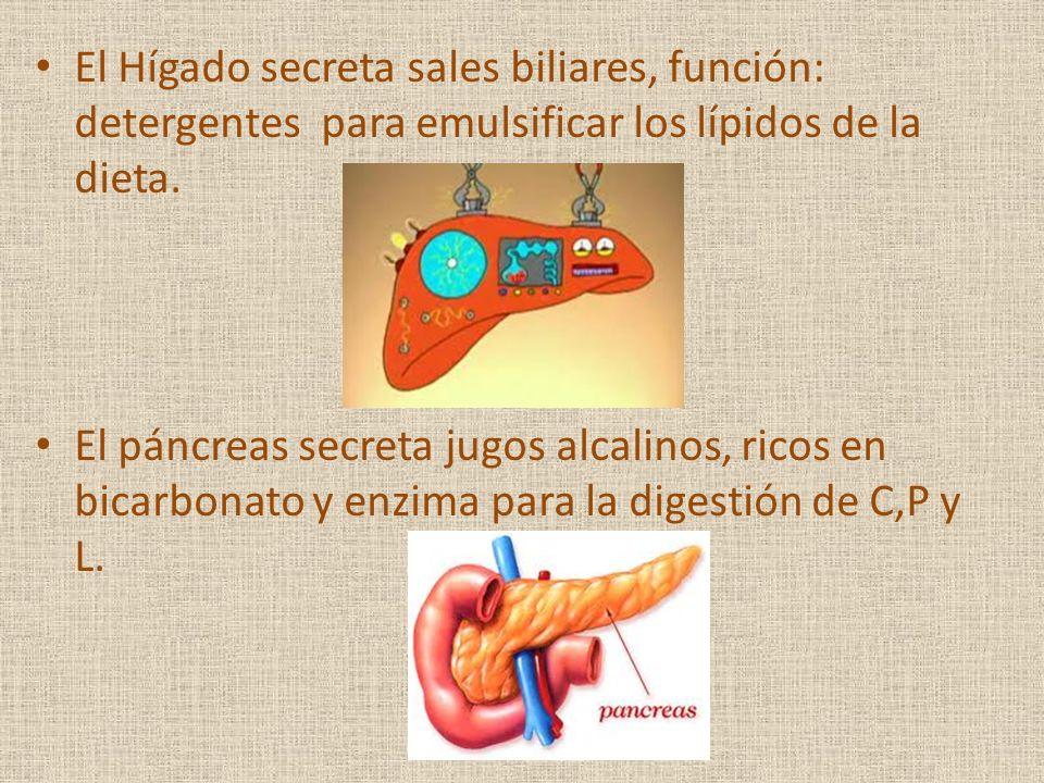 El Hígado secreta sales biliares, función: detergentes para emulsificar los lípidos de la dieta. El páncreas secreta jugos alcalinos, ricos en bicarbo