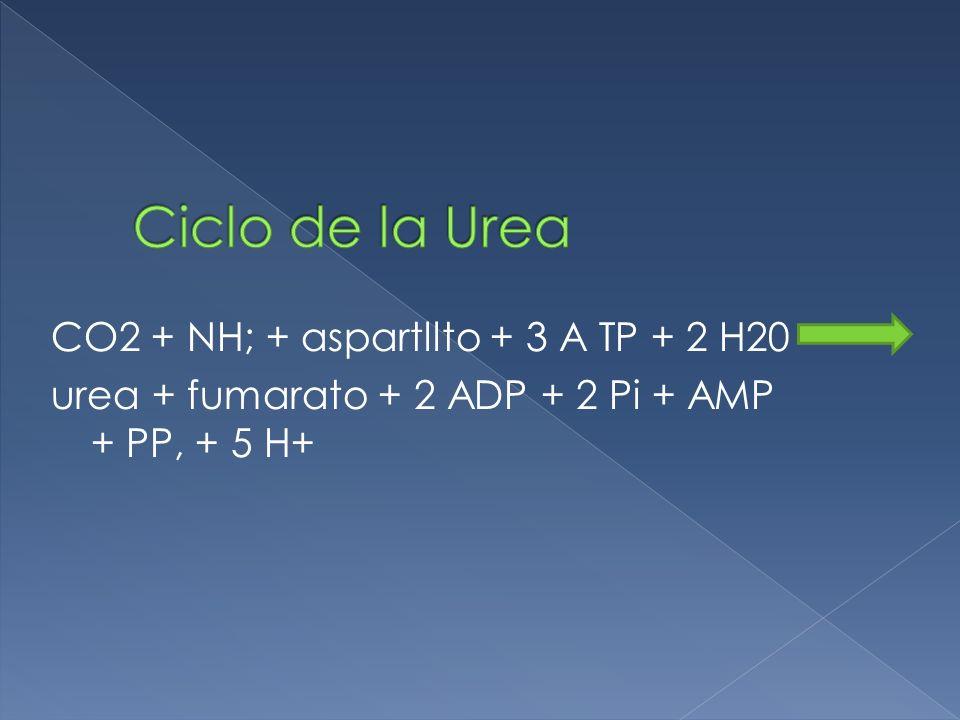 CO2 + NH; + aspartllto + 3 A TP + 2 H20 urea + fumarato + 2 ADP + 2 Pi + AMP + PP, + 5 H+