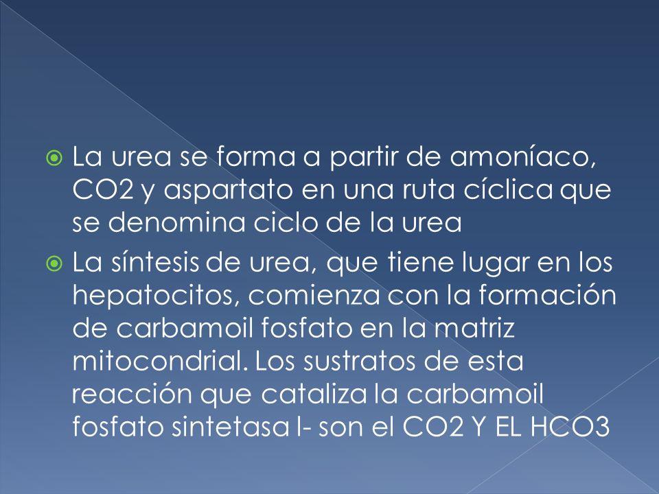 La urea se forma a partir de amoníaco, CO2 y aspartato en una ruta cíclica que se denomina ciclo de la urea La síntesis de urea, que tiene lugar en lo