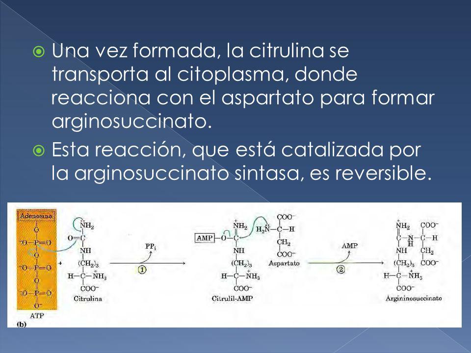 Una vez formada, la citrulina se transporta al citoplasma, donde reacciona con el aspartato para formar arginosuccinato. Esta reacción, que está catal