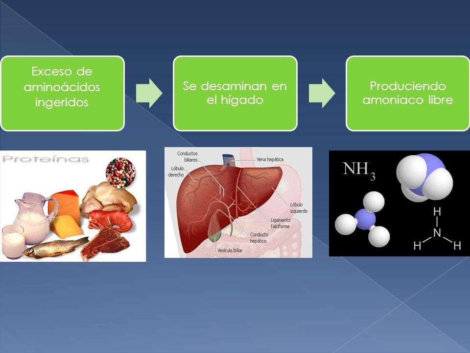Exceso de aminoácidos ingeridos Se desaminan en el hígado Produciendo amoniaco libre