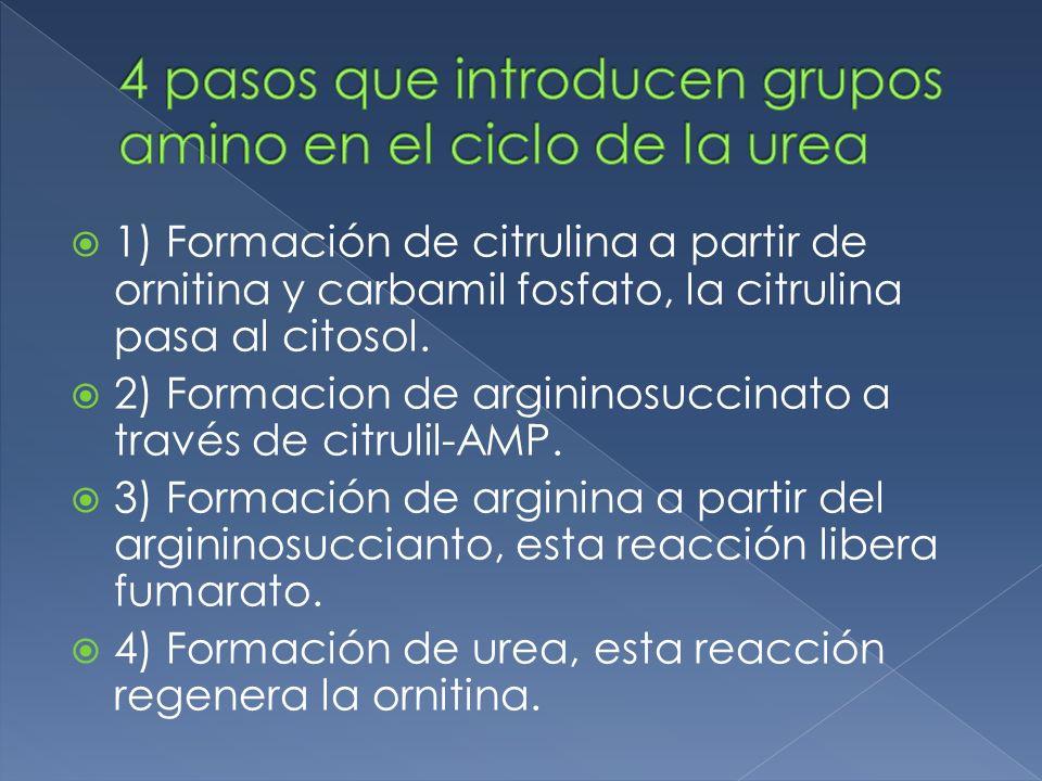 1) Formación de citrulina a partir de ornitina y carbamil fosfato, la citrulina pasa al citosol. 2) Formacion de argininosuccinato a través de citruli