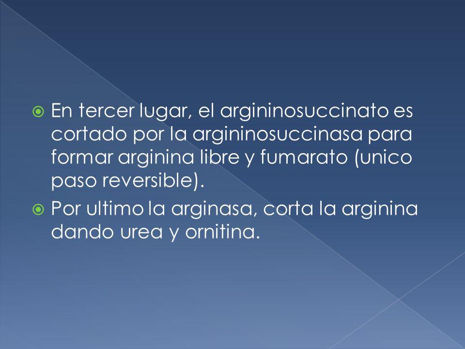 En tercer lugar, el argininosuccinato es cortado por la argininosuccinasa para formar arginina libre y fumarato (unico paso reversible). Por ultimo la