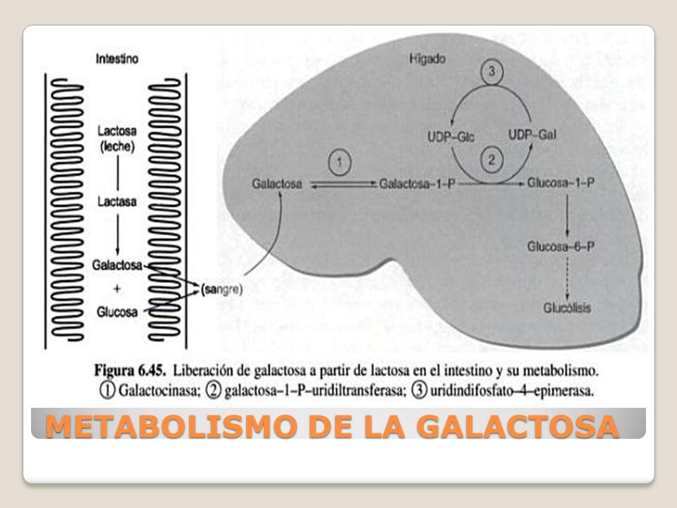 NOMBRE COMUN: galactosemia con déficit de uridiltransferasa DEFICIT BASICO: uridil transferasa de galactosa 1- fosfato INCIDENCIA: 1 por cada 60000 CARACTERISTICAS BASICAS: Vomito y diarrea en RN Hepatomegalia precoz Ictericia Cataratas Aminoaciduria Retraso del crecimiento Dificultad con el lenguaje Existen complicaciones a largo plazo, a pesar del diagnostico y tratamiento precoces.