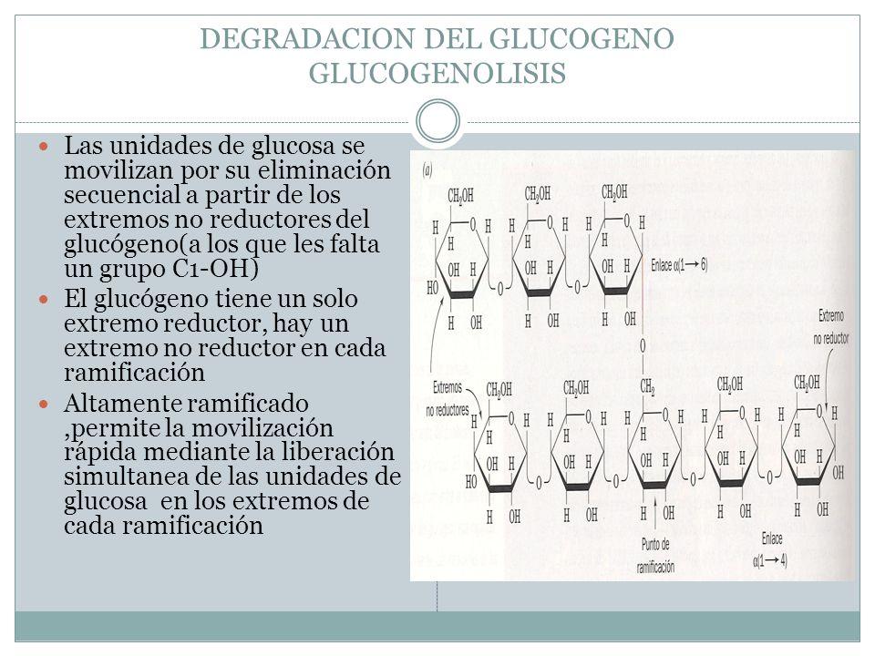DEGRADACION DEL GLUCOGENO GLUCOGENOLISIS Las unidades de glucosa se movilizan por su eliminación secuencial a partir de los extremos no reductores del
