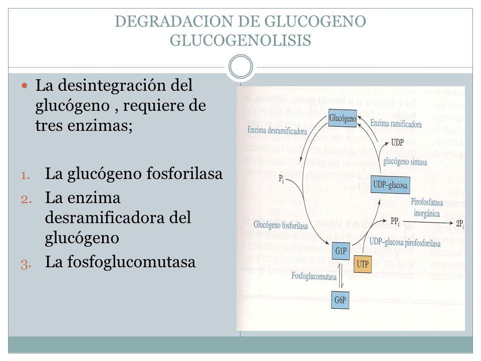 DEGRADACION DE GLUCOGENO GLUCOGENOLISIS La desintegración del glucógeno, requiere de tres enzimas; 1. La glucógeno fosforilasa 2. La enzima desramific