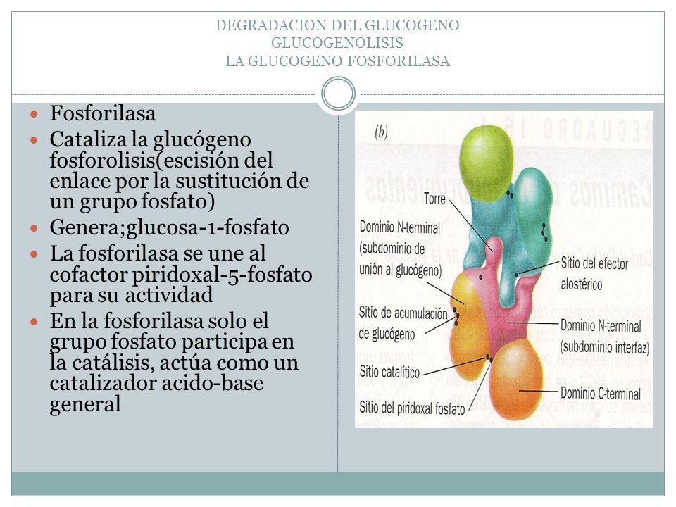 DEGRADACION DEL GLUCOGENO GLUCOGENOLISIS LA GLUCOGENO FOSFORILASA Fosforilasa Cataliza la glucógeno fosforolisis(escisión del enlace por la sustitució