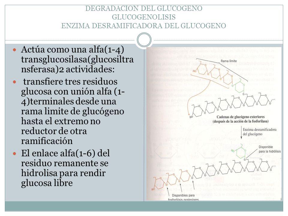 DEGRADACION DEL GLUCOGENO GLUCOGENOLISIS ENZIMA DESRAMIFICADORA DEL GLUCOGENO Actúa como una alfa(1-4) transglucosilasa(glucosiltra nsferasa)2 activid