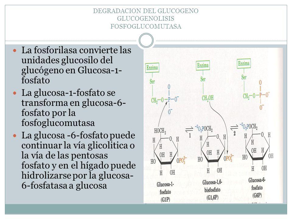 DEGRADACION DEL GLUCOGENO GLUCOGENOLISIS FOSFOGLUCOMUTASA La fosforilasa convierte las unidades glucosilo del glucógeno en Glucosa-1- fosfato La gluco