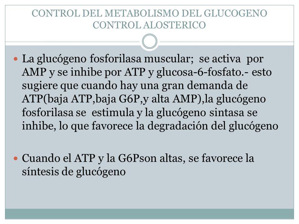 CONTROL DEL METABOLISMO DEL GLUCOGENO CONTROL ALOSTERICO La glucógeno fosforilasa muscular; se activa por AMP y se inhibe por ATP y glucosa-6-fosfato.