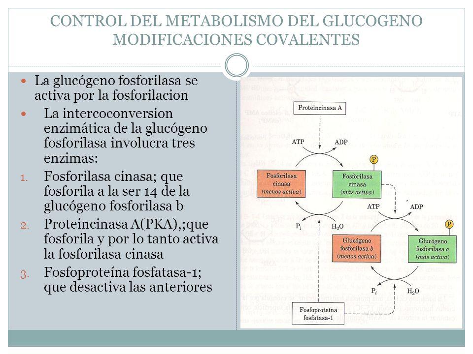 CONTROL DEL METABOLISMO DEL GLUCOGENO MODIFICACIONES COVALENTES La glucógeno fosforilasa se activa por la fosforilacion La intercoconversion enzimátic