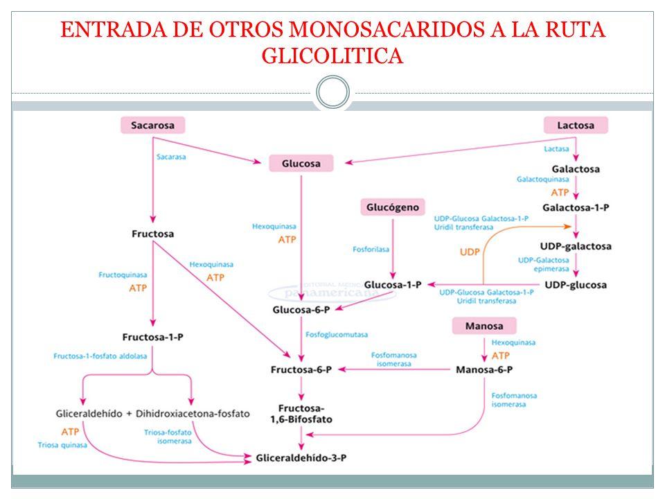 ENTRADA DE OTROS MONOSACARIDOS A LA RUTA GLICOLITICA