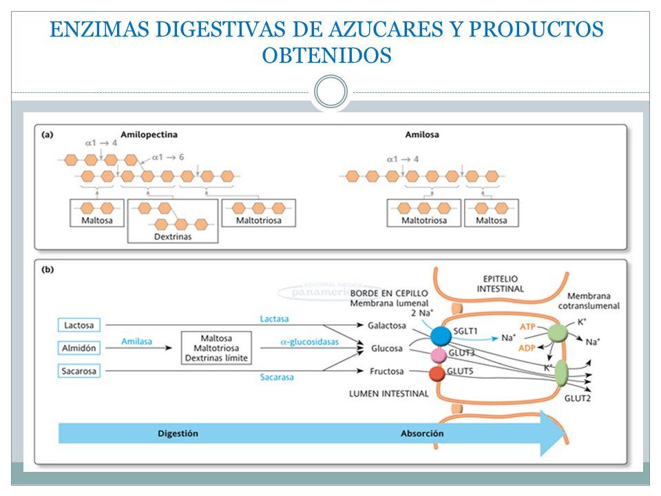 ENZIMAS DIGESTIVAS DE AZUCARES Y PRODUCTOS OBTENIDOS